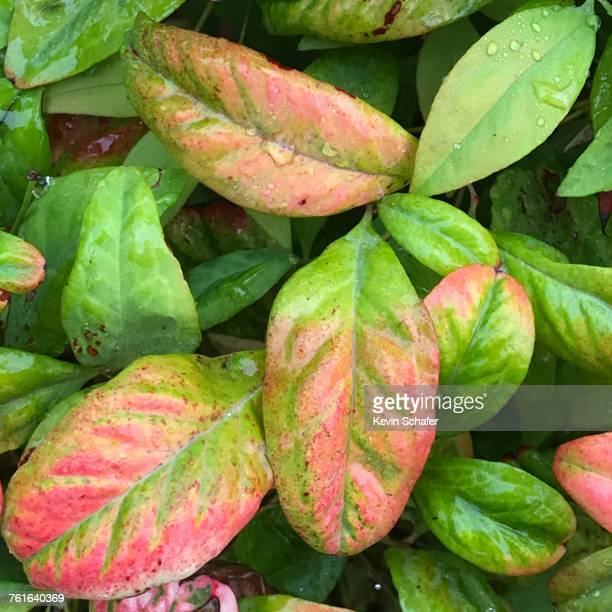 autumn  - manzanita stock pictures, royalty-free photos & images