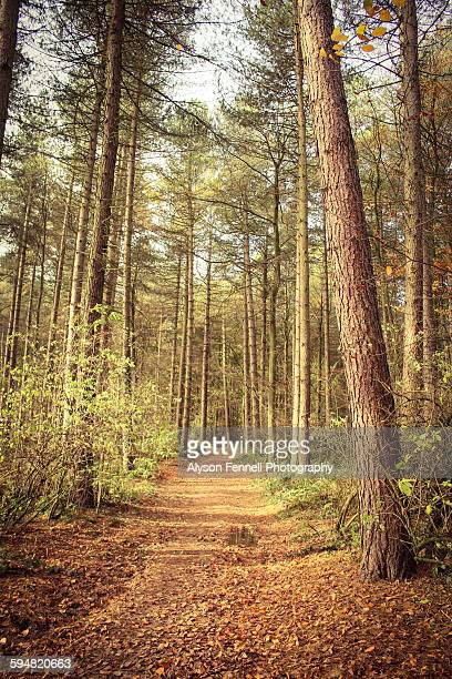 autumn pine tree forest - alyson fennell stock pictures, royalty-free photos & images