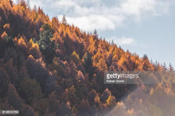 Autumn pines trees