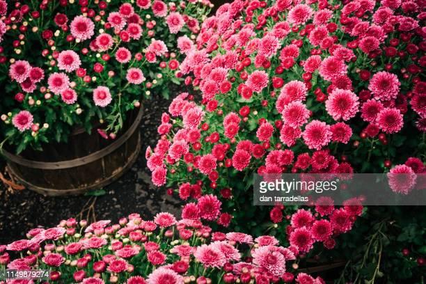 autumn pink chrysanthemums - chrysanthemum stock pictures, royalty-free photos & images