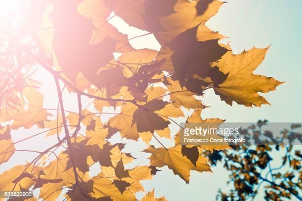 Autumn plane tree
