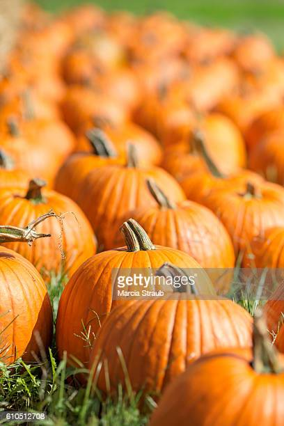 autumn pumpkins in the patch - pumpkin patch stock photos and pictures