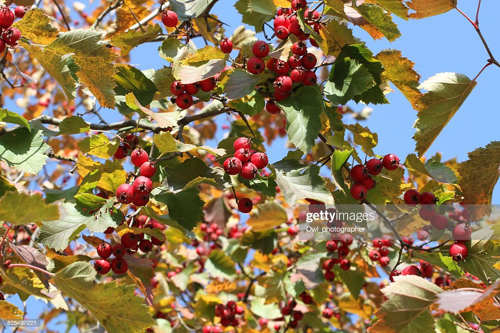 Autumn Red Berries On Irga Tree High Res Stock Photo Getty Images