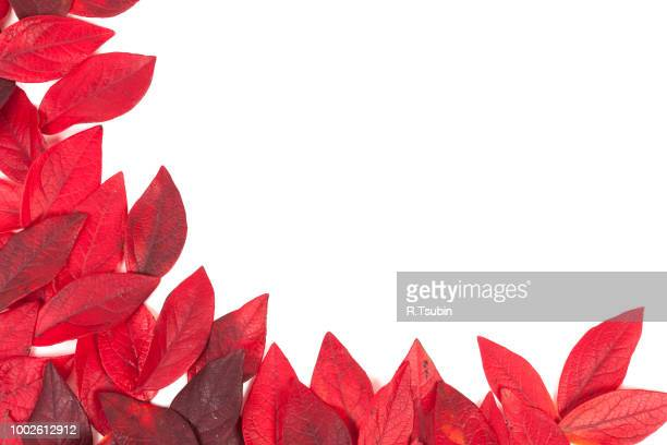 autumn red leaves isolated on white