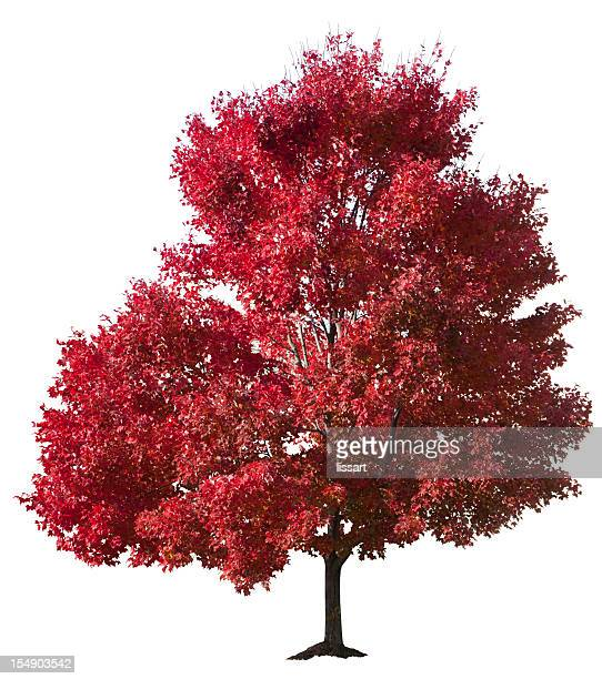 autumn red maple tree isolated - maple tree stock pictures, royalty-free photos & images