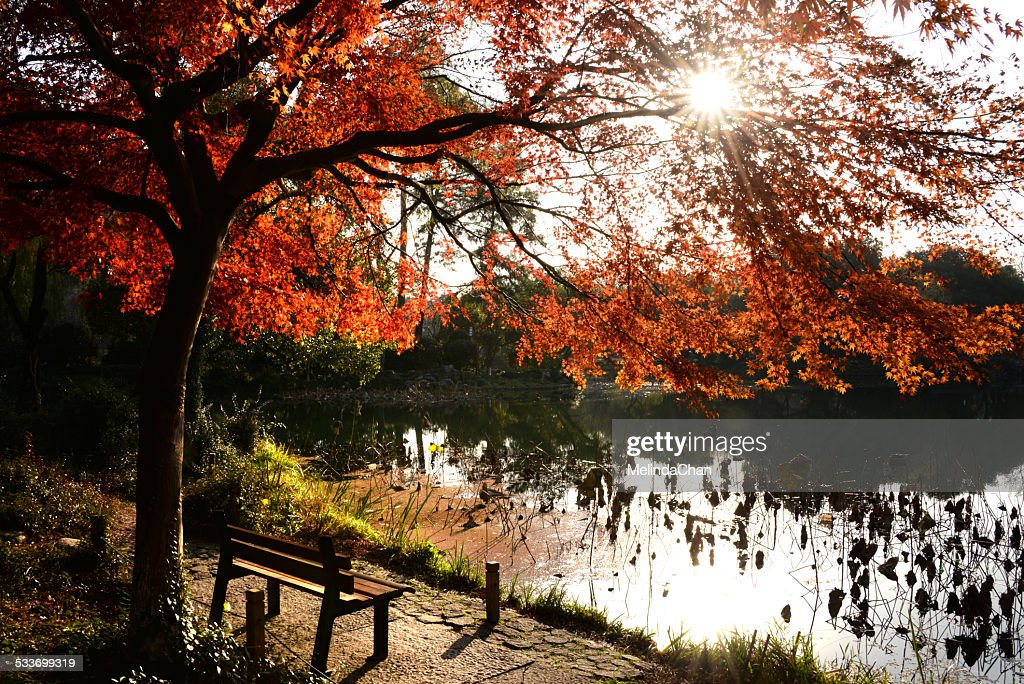 Autumn red Maple tree with flare : Foto stock