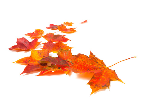 Autumn red orange maple leaves isolated on white background - gettyimageskorea