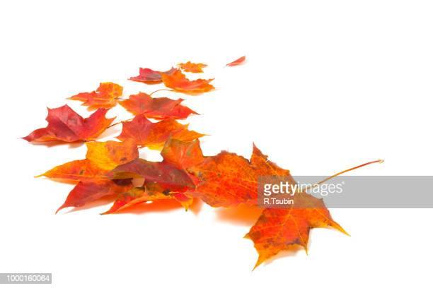 autumn red orange maple leaves isolated on white background - otoño fotografías e imágenes de stock