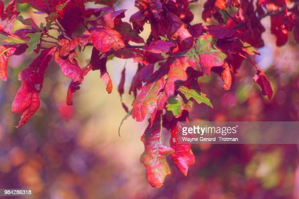 autumn red - wayne gerard trotman stock pictures, royalty-free photos & images