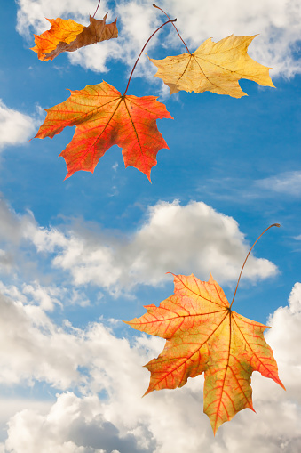 Autumn red yellow abstract maple falling leaves on blue cloud sky background 976165644