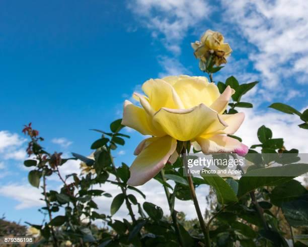 Autumn rose flowers