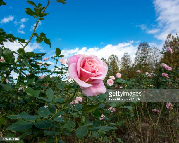 autumn rose flowers - novembro azul - fotografias e filmes do acervo
