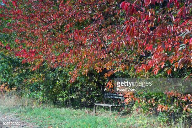 Autumn scene, bench under autumn red coloured cherry tree