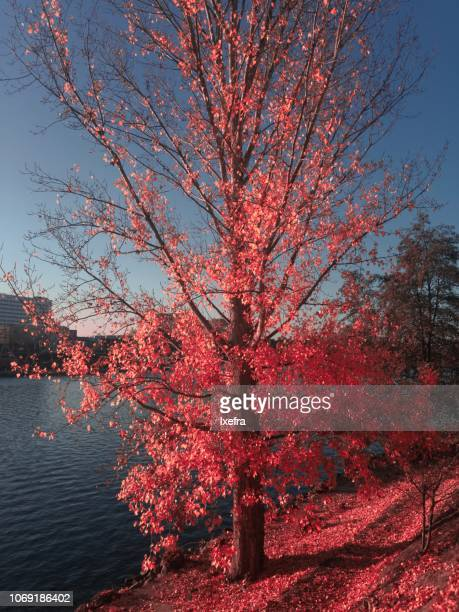 A autumn scene: riverside tree with red leaves
