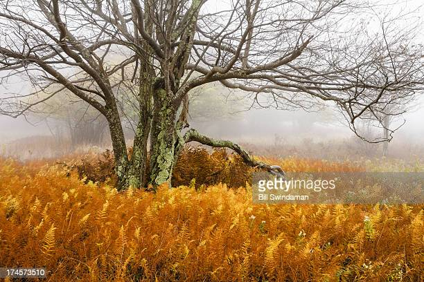 Autumn Scene Tree with Fog and Ferns