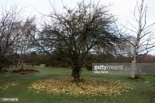 Autumn scene with fallen crab apples at the base of a tree in Sutton Park in Sutton Coldfield, Birmingham, United Kingdom.
