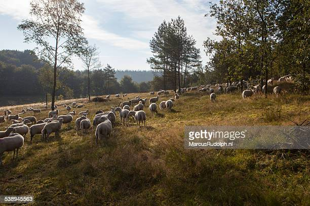 autumn sheep - hill range stock pictures, royalty-free photos & images