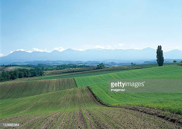 Autumn Sowing Wheat and Mt. Daisetsu