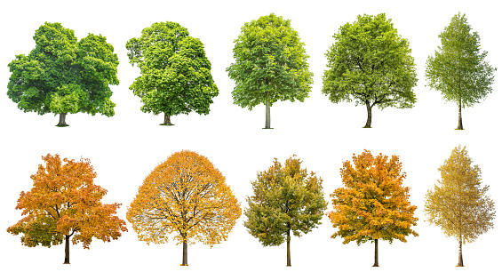 Autumn summer trees isolated white background 1040579292