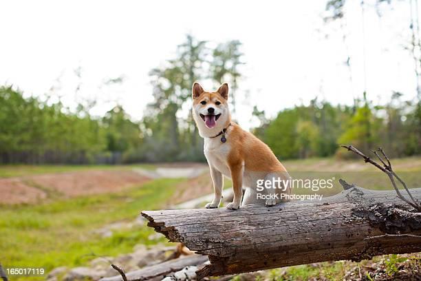 autumn sun, dog on log - 一匹 ストックフォトと画像
