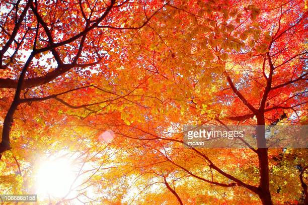 autumn sunshine - autumn leaf color stock pictures, royalty-free photos & images