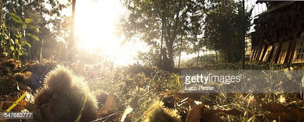 autumn sweet chestnuts - kastanie laubbaum stock-fotos und bilder