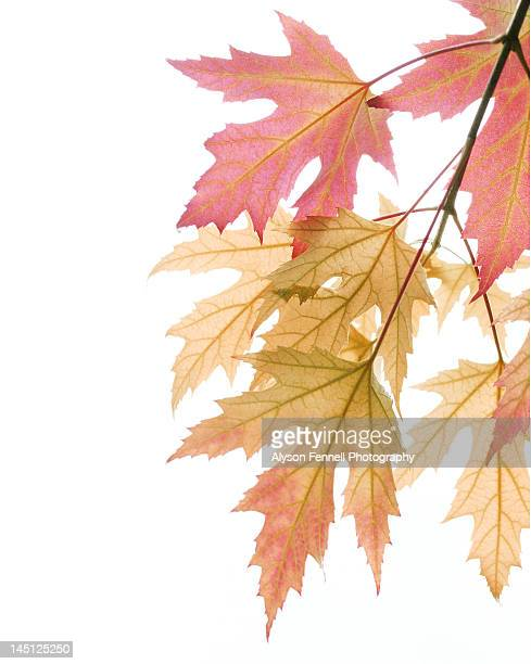 autumn sycamore leaves - alyson fennell stock pictures, royalty-free photos & images