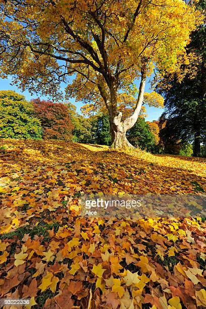 autumn sycamore with a carpet of fallen leaves - crieff stock pictures, royalty-free photos & images