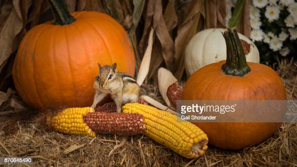 autumn thanksgiving chipmunk - canadian thanksgiving stock pictures, royalty-free photos & images