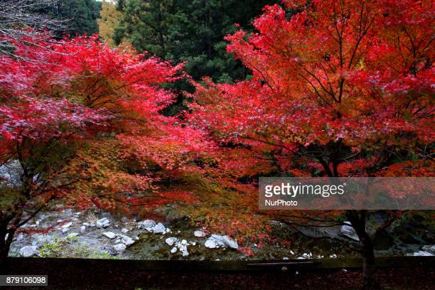 Autumn tint Colored leaves in a park in Tokyo on November 25 2017