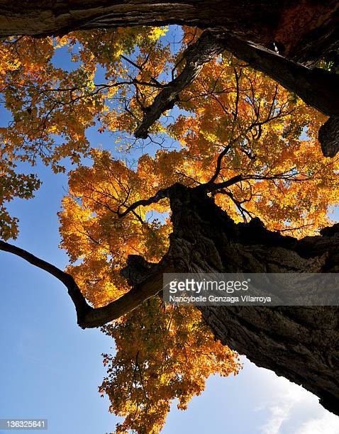 autumn tree against blue sky - nancybelle villarroya stock photos and pictures