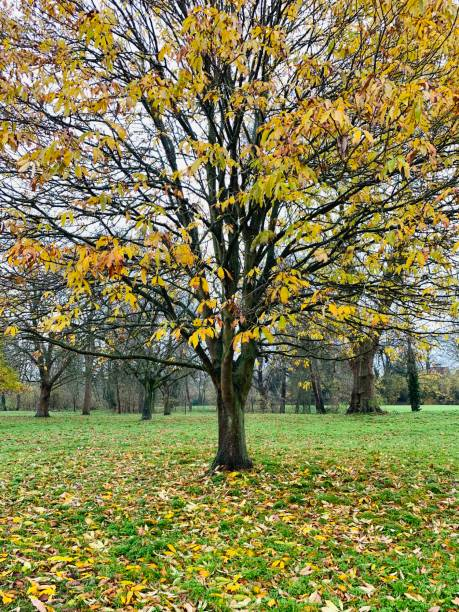 Autumn tree in College Field at Eton College