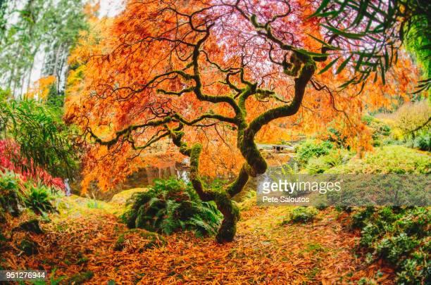 autumn tree in forest, bainbridge, washington, united states - bainbridge island stock pictures, royalty-free photos & images