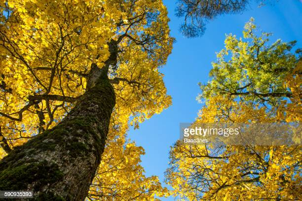 Autumn tree seen from a  low angle