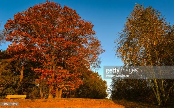 autumn tree sunrise - william mevissen stock-fotos und bilder
