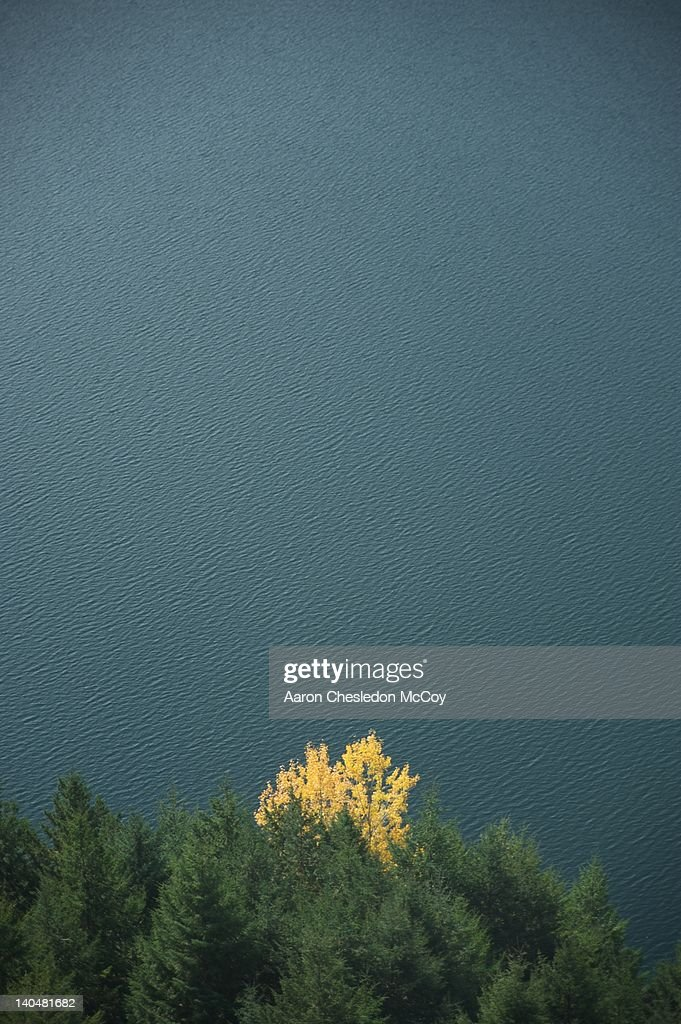 Autumn tree surrounded by evergreen trees : Stock Photo