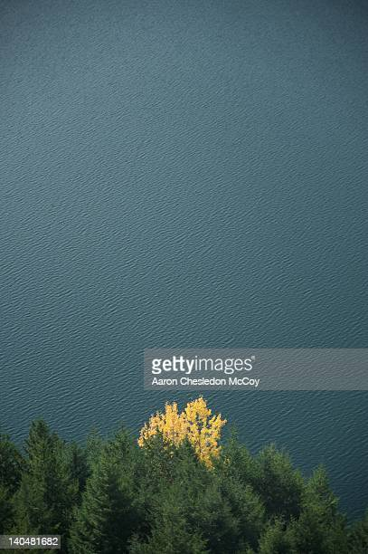 autumn tree surrounded by evergreen trees - diablo lake stock photos and pictures