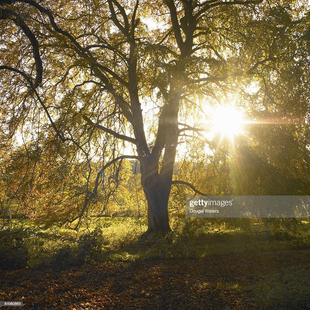 Autumn tree with sun shining through leaves. : Stock Photo