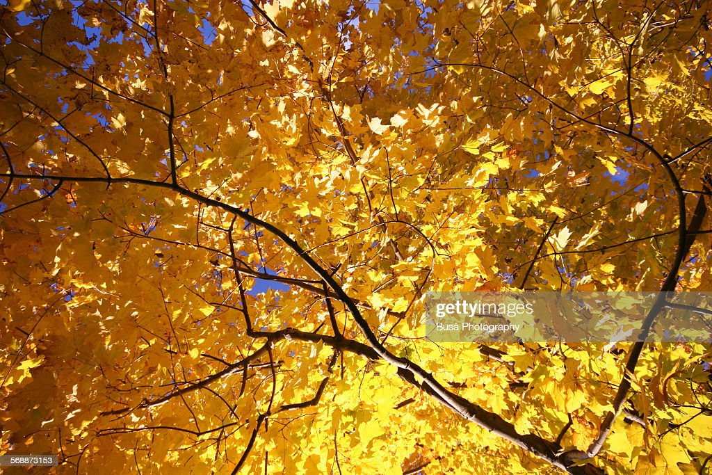 Autumn tree with yellow leaves : Stock Photo