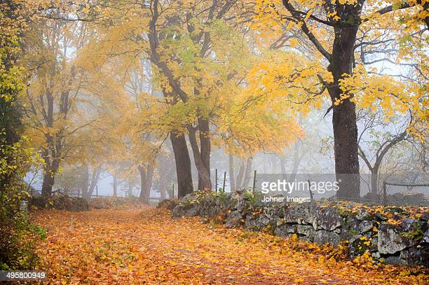Autumn trees and stone wall in fog, Ronneby, Blekinge, Sweden