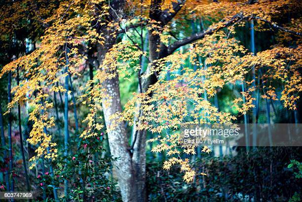 autumn trees growing in forest - liu he stock pictures, royalty-free photos & images