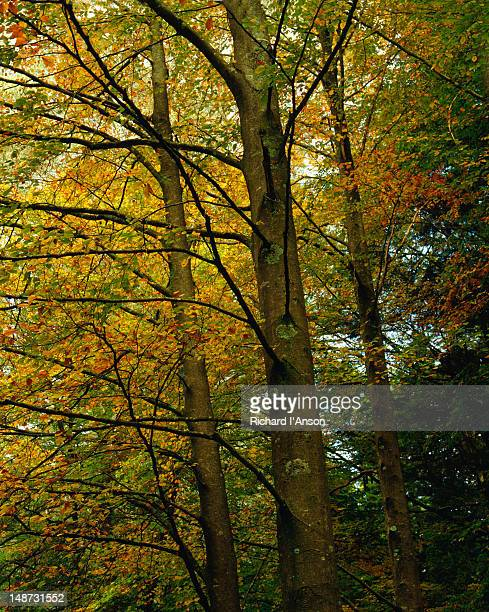autumn trees in the dandenong ranges - ferny creek, victoria - dandenong stock photos and pictures