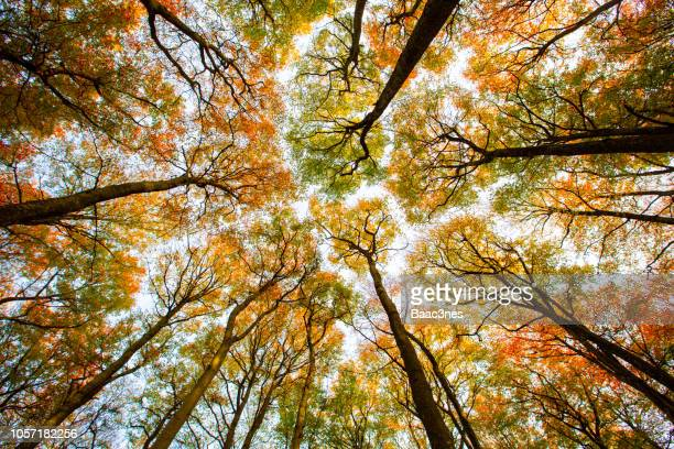 autumn trees seen from the forest floor - deciduous tree stock pictures, royalty-free photos & images