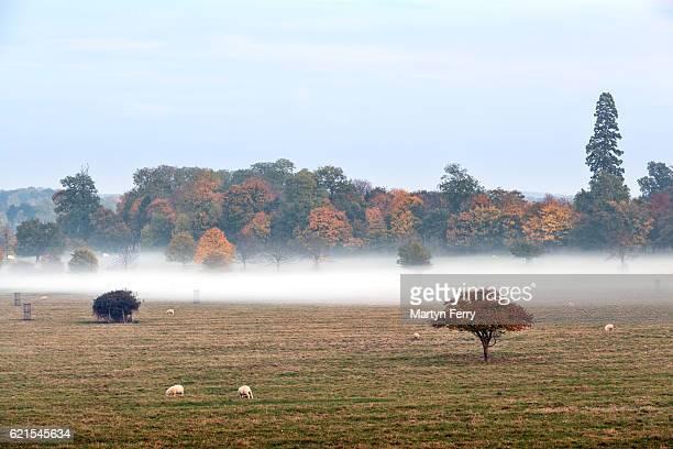 Autumn Trees & Sheep in Mist, Wimpole Estate, Arrington, Cambridgeshire, East Anglia, UK