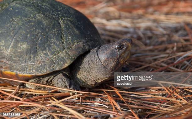 autumn turtle - animales en cautiverio fotografías e imágenes de stock