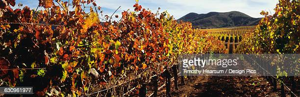 autumn view between rows of grapevines in santa ynez valley with more rows on a rolling hillside and mountains beyond - timothy hearsum imagens e fotografias de stock