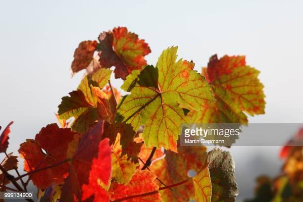 Autumn vine leaves, Waigolshausen, Lower Franconia, Franconia, Bavaria, Germany
