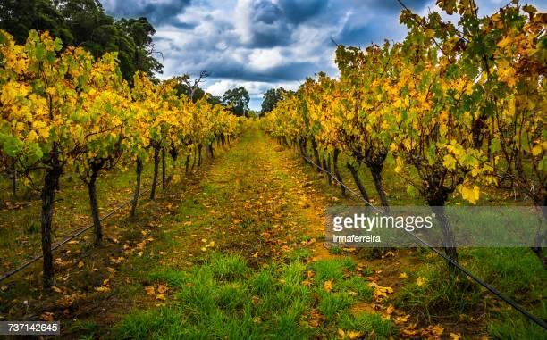 Autumn vines in vineyard, Chidlow, Western Australia, Australia
