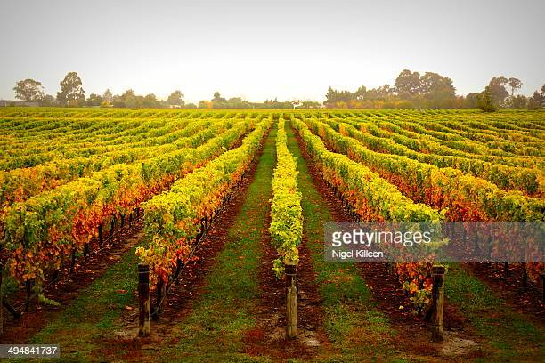 Autumn Vines Vineyards near Bleinheim Marlborough New Zealand