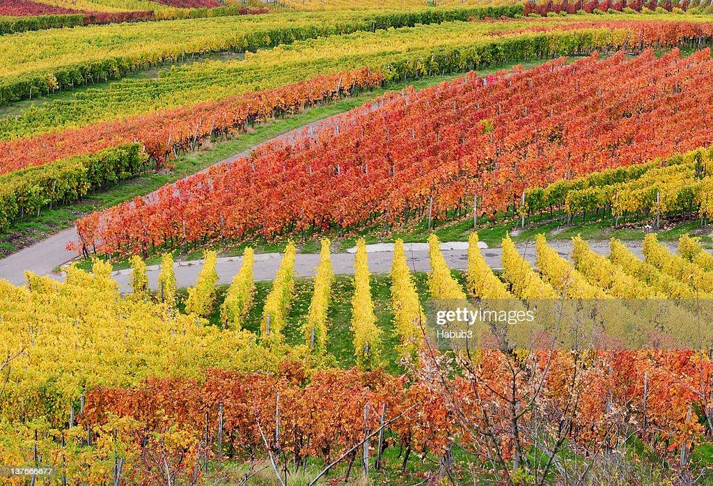 Autumn vineyard : Stock Photo